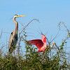 Great Blue Heron (left) and Roseate Spoonbill (right). Photo credit: Peggy Wilkinson