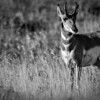"""Pronghorn sheep at Grand Teton National Park in Wyoming.<br /> <br /> Photo by Kyle Spradley 
