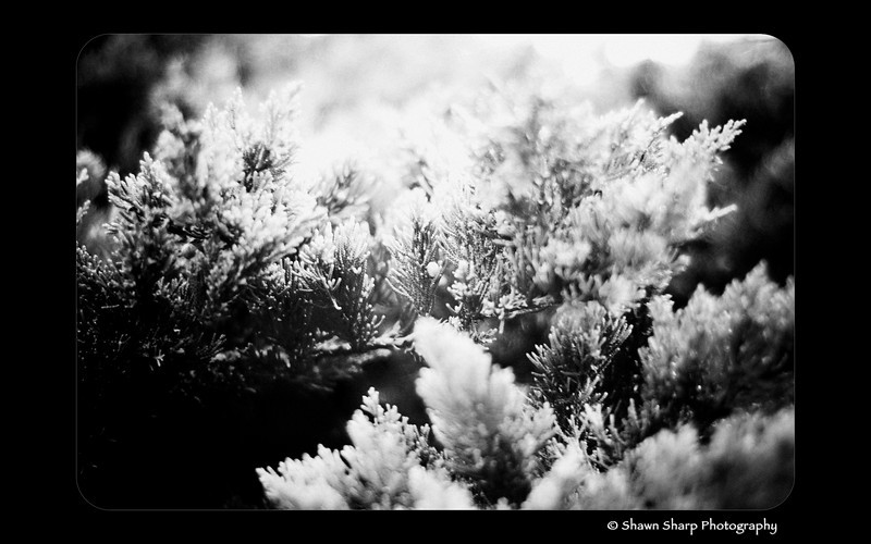 "A Pinhole in the Evergreens<br /> <br /> Throughout my day I'm always looking for a new opportunity to snap a few pics. Sometimes its big events, and then at other times I like to get a closer look at the oft overlooked details. Today, at a local shopping center, I was walking around looking for something good to photograph when it suddenly came to me....I'll bet no one around here notices these evergreen bushes. Everyone knows the shopping center is nice to look at and ""clean"" looking but does anyone ever realize why? Its the plants! So I grabbed my camera and snapped 4 pictures. This is the best of the 4...."