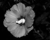 Flower - Hibiscus syriacus 'Minerva' (Rose of Sharon)