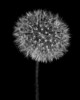 Flower - Taraxacum officinale (Dandelion)