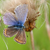 "Some years ago I found this Common Blue (Polyommatus icarus) near Hadbjerg, Jutland, where I used to live. It looks strange with its different wing colours, two brown and two blue. It's a ultra-rare ""ladyboy"" butterfly, which is born half male and half female. This happens to 1 out of 10.000 butterflies.The ""ladyboy"" is also known as a gynandromorph."