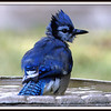 All Teenagers Go Through a Punk Stage  Juvenile Blue Jay