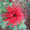 New Bee Balm Resistant to Powdery Mildew