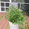 Bucket of Cut Perennials with Seeds for Birds (Coneflowers & Wild Bugleweed)
