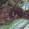 Day Two for Baby Catbirds - 7/20/14