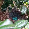 Three Gorgeous Eggs Still Unhatched - 7/15/14