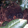 Day Five for Baby Catbirds - 7/23/14 <br> Notice the one on the left you can see that its eyes are open.