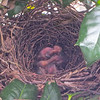 Day One For 3 Gray Catbird Babies - 7/19/14