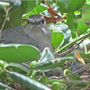 "Day Seven for Mama Catbird and Babies - 7/25/14 <br> Mama says, ""Hey! If you're not willing to help feed these kids, there's no onlookers allowed!"""