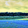 Bluebonnets at Muleshoe Bend #16