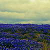 Bluebonnets at Muleshoe Bend #31