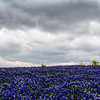 Bluebonnets at Muleshoe Bend #22