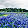 Bluebonnets at Muleshoe Bend #23