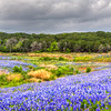 Bluebonnets at Muleshoe Bend #26