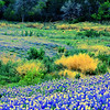 Bluebonnets at Muleshoe Bend #27