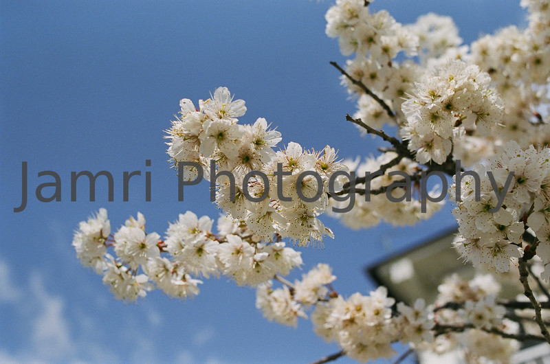 March - Anzu (Apricot) Blossoms. Note Film Shot: Nikon F80 + 35mm f/2  + Fujicolor PRO400