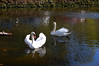 LTwo Swans on a German Pond