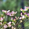 Cornus florida - Pink Dogwood