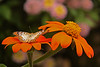 Butterfly Festival   Powell Gardens August,  2014<br /> <br /> Unidentified, as yet