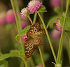 Butterfly Festival   Powell Gardens August,  2014<br /> <br /> Unidentified, as yet,  butterfly
