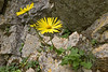 Doronicum, which species?