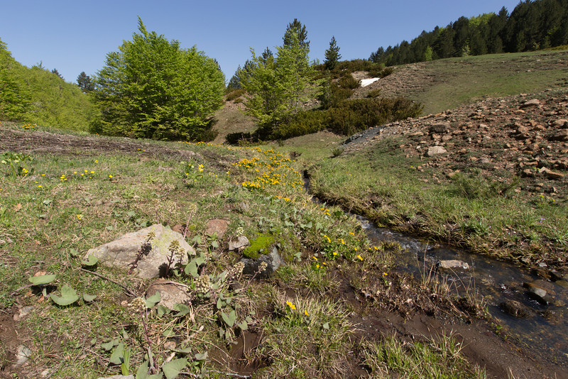 Habitat of Petasites hybridus (or possibly Petasites albus) and Caltha palustris