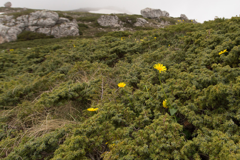 Doronicum, which species? and Juniperus