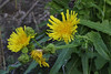 Sonchus, which one? (El Convento, 2km S of La Hermigua)