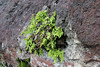 Adiantum capillus-veneris (first tunnel northeast of Valle Gran Rey)