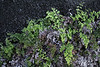 Adiantum capillus-veneris, Maidenhair Fern (east of Barlovento, 500m, along LP1)
