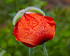 Garden Poppy in Langbank - 4 June 2014