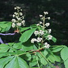 Double Flowering Horse Chestnut Tree