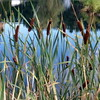 Cattails at Glimmerglass