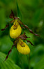 Small Yellow Lady's slipper pair