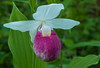 Showy Lady's slipper close-up