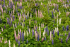 FLWR-11106: Field of Lupine (Lupinus polyphyllus)