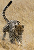 Pouncing cheetah