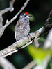 White-Barred Piculet 1