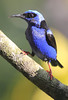Red-Legged Honeycreeper 1