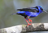 Red-Legged Honeycreeper 2