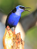 Red-Legged Honeycreeper 4