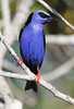 Red-Legged Honeycreeper 6
