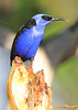 Red-Legged Honeycreeper 5