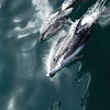 Pacific white-sided dolphins playing and riding the bow wave of the ship.