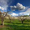A mature pear orchard in bloom - this photo reminds me of my childhood when there were many more orchards here in Kelowna.