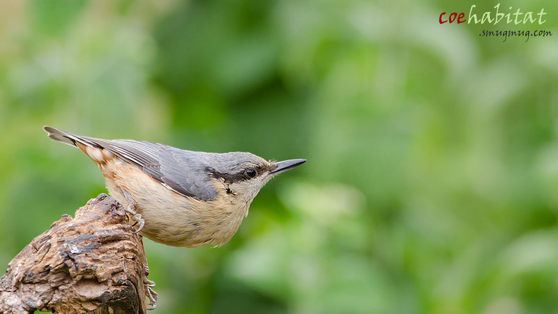 Nuthatch July 2013