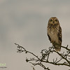 Short Eared Owl Staffs Moordlands Feb 2013