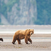 Sow and Cubs walking on the beach flats of Hallo Bay.
