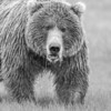 The B & W version of a young bear feeding on sedge in the rain at Hallo Bay